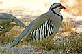 073 - CHUKAR (5-31-09) silver saddle resort, galileo hill, kern co, ca (2) (8719891023).jpg