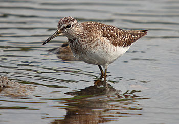 English: Wood sandpiper at the lower ford on K...
