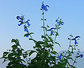 2006-10-16-Salvia2-03.jpg