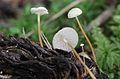 2012-09-15 Strobilurus conigenoides (Ellis) Singer 262298.jpg