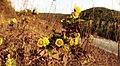 20121124安徽马鞍山濮塘镇东X001县道怪坡边野菊 - panoramio.jpg