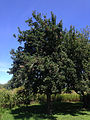 2014-08-29 13 54 16 Apple tree at the Pinelands Preservation Alliance headquarters in Southampton Township, New Jersey.JPG