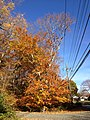2014-11-02 14 23 49 American Beech during autumn along Woosamonsa Road in Hopewell Township, New Jersey.jpg