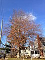 2014-12-30 13 41 14 Copper European Beech at the intersection of Parkway Avenue (Mercer County Route 634) and Greenway Avenue in Ewing, New Jersey.JPG