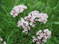 20140510Valeriana officinalis1.jpg