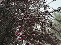 2015-04-08 07 38 09 A wet spring snow on Crabapple blossoms along Carlin Court in Elko, Nevada.jpg