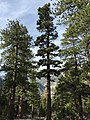 2015-04-30 07 56 36 Fir along the Trail Canyon Trail in the Mount Charleston Wilderness, Nevada about 1.4 miles north of the trailhead.jpg