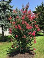 2015-07-19 11 27 43 Crape Myrtle blooming along Tranquility Court in the Franklin Farm section of Oak Hill, Virginia.jpg
