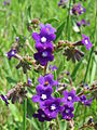 20150522Anchusa officinalis2.jpg