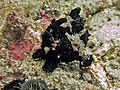2015 09 Bali 6 hard to decipher frogfish (21906169649).jpg
