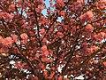 2016-04-15 19 27 05 'Kanzan' Japanese Cherry flowers in the light of the setting sun along Lake Center Plaza in Cascades, Loudoun County, Virginia.jpg