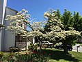 2016-04-20 12 09 11 White Flowering Dogwood blooming along Tranquility Court in the Franklin Farm section of Oak Hill, Fairfax County, Virginia.jpg