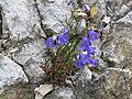2017-07-23 (46) Unidentified Campanula (bellflower) at Dürrenstein (Ybbstaler Alpen), Austria.jpg