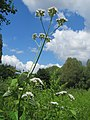 20170717Valeriana officinalis3.jpg