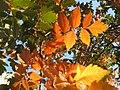 20171019Koelreuteria paniculata1.jpg