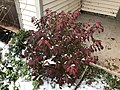 2018-11-15 07 42 38 Snow and sleet on a Euonymus in the Franklin Farm section of Oak Hill, Fairfax County, Virginia.jpg