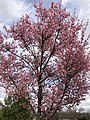 2020-03-16 14 38 15 Autumn Cherry blooming along Charles Ewing Boulevard in Ewing Township, Mercer County, New Jersey.jpg