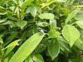 4733Common houseflies in Philippines 28.jpg