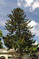 71-101-5023 Cherkasy Spurce Tree SAM 7168.jpg
