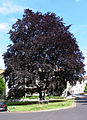 AB ND1 Fagus sylvatica purpurea.jpg