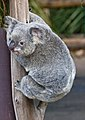 AZ Koala at rest-1 (4630667492).jpg