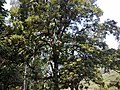 A Bee tree in Mattupetty - panoramio.jpg
