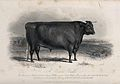 A Devon bull. Etching by E. Hacker, ca 1849, after W.H. Davi Wellcome V0021638.jpg