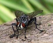 Lalat pemakan bangkai, Sarcophaga carnaria