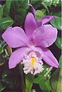 A and B Larsen orchids - Cattleya Miva Breeze Alize 930-23.jpg