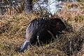 A beaver on dry land near its watery home (d275d00f-fd86-457c-a3e5-20a93a1cc5b4).jpg