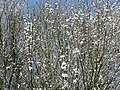 A flurry of Blackthorn blossom. - geograph.org.uk - 1207268.jpg