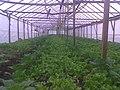 A greenhouse in Turkey.jpg