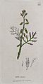 A plant (Vella annua); flowering stem and floral segments. C Wellcome V0044231.jpg