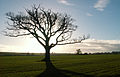 A tree at Aunsby, Lincolnshire, England.JPG