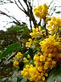 A true Oregon Grape wildflower.JPG