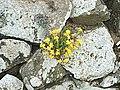 A wall flower, but not a Wallflower - geograph.org.uk - 884525.jpg