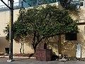 A weeping fig at Lakdikapul MMTS train station.jpg