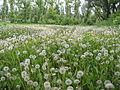 Ab plant 497.jpg