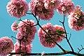 Aberta a temporada de ipês roxos em Brasília (28967971088).jpg