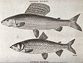 Above, a grayling salmon; below, a Gwiniad salmon. Engraving Wellcome V0022050.jpg