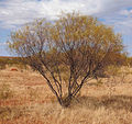 Acacia ancistrocarpa.jpg