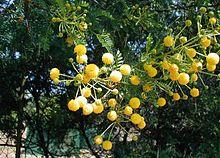 Vachellia karroo - Wikipedia