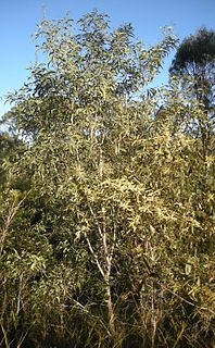 <i>Acacia leiocalyx</i> species of plant