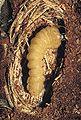 Acanthocinus aedilis 1231151.jpg