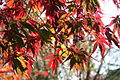 Acer palmatum 'Burgundy lace' JPG1Fu.jpg