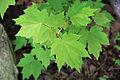 Acer rubrum young leaves.jpg