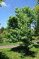 Acer tsinglingense - Morris Arboretum - DSC00498.jpg