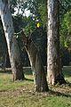 Acharya Jagadish Chandra Bose Indian Botanic Garden - Howrah 2011-01-08 9714.JPG