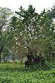 Acharya Jagadish Chandra Bose Indian Botanic Garden - Howrah 2011-02-20 1530.JPG