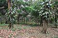 Acharya Jagadish Chandra Bose Indian Botanic Garden - Howrah 2011-02-20 1532.JPG